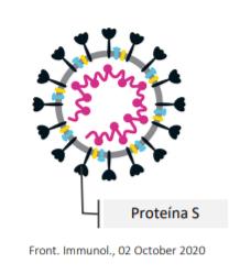 proteína S- vacunas contra el covid autorizadas