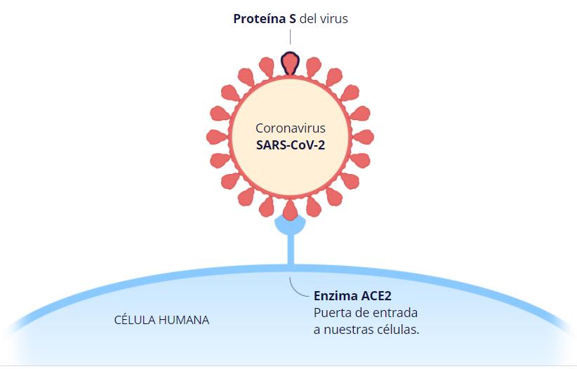 Proteína S del virus