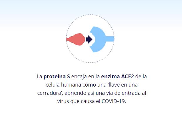 proteína S en enzima ACE2